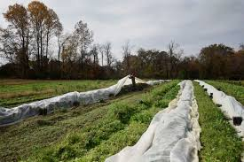 ધરતીપુત્રો પ્રાચીન પદ્ધતિનો ઉપયોગ કરીને કરી રહ્યા છે દેશી તેમજ ઓર્ગેનિક ખેતી